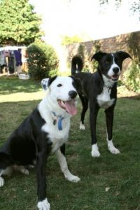 Two challenging Border Collies
