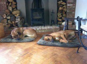Two Ridgebacks on their beds