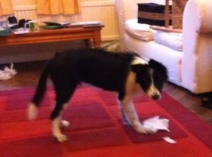 Five month old Border Collie