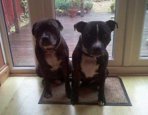 Two Staffies sitting on the doormat