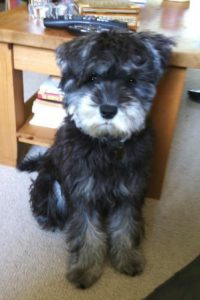 miniature schnautzer Hector looks like a teddy bear