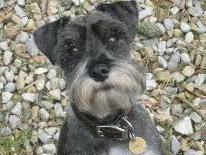pepper is small Miniature Schnauzer