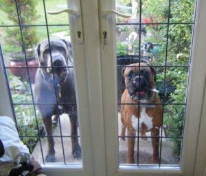 Great Dane and Boxer at the window. They now need to be kept apart