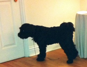 Tibetan Terrier Harry needs to be kept away from open doors