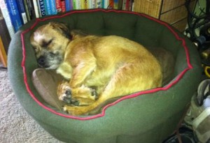 border terrier spent most of the time asleep in his bed