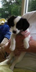 Eight week old Terrier puppy being held