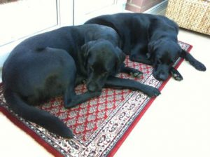 Black Labradors Raj and Sumo lying on the rug