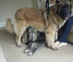 leonberger Leo wearing muzzle and standing over the other dog