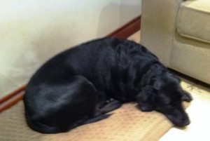Black Lab Daisy lying down after a busy day