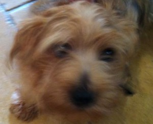 Norfolk Terrier Charlie does what he wants