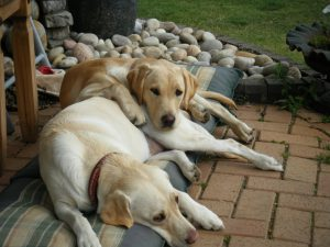 Two Golden Labradors lying together