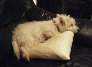 Much of the time Westie Snoopy is an obedient, relaxed and happy little do
