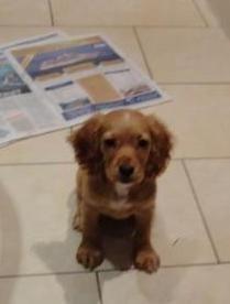 Ten week old Cocker Spaniel puppy