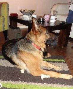 German Shepherd Shandy has no leadership