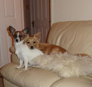 Brother and sister are a mix of Jack Russell, Pomeranian and Chihuahua