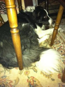 Border Collie Rex lying under a chair