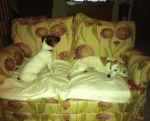 George, Jack Russell on the left, is more confident than Ruby