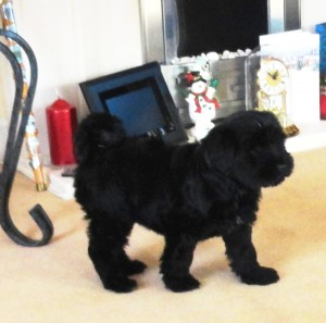Nine week old Tibetan Terrier