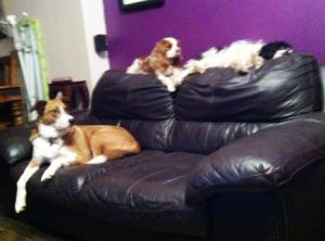 Border Collie Blaze on the sofa with the two other dogs