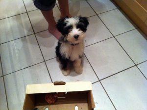 Tebetan Terrier puppy Lara