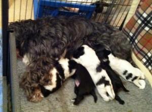 Tibetan Terrier Evie feeding her puppies