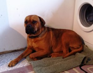 English Mastiff cross is well behaved and calm in the house