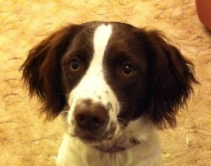 What a beautiful face Springer Pebbles has