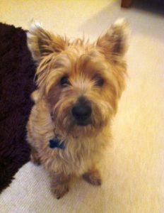 Cairn Terrier Charlie looks worried