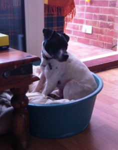Jack Russell Jill is sitting in her bed