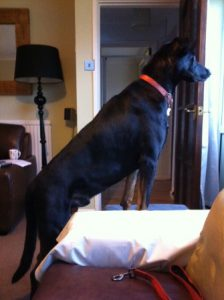 Doberman Jack on guard duty at the window