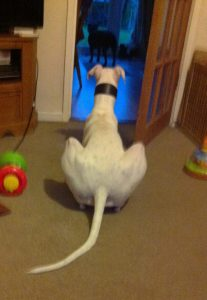 William Lurcher watching one of the Staffies
