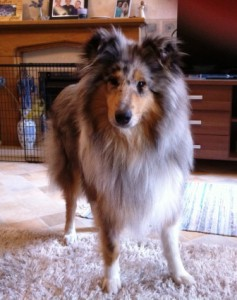 Blue Merle Rough Haired Collie can be a little nervous of visitors to the house