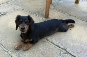 Bangers is the larger of the two miniature daschunds