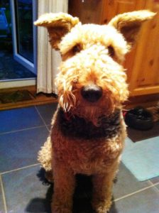 Airedale Jessie doesn't like hands aproaching from above her