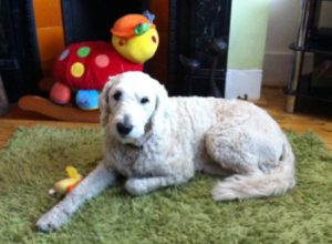Goldendoodle Molly is a tolerant, gentle, friendly and stable dog
