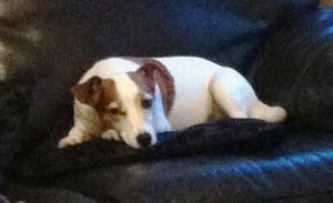 Jack Russell Tilly lying peacefully