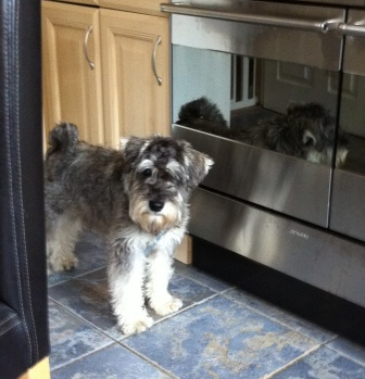 Miniature Schnauzer Basil is scared of people coming to near him
