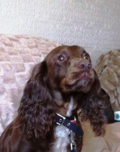 What a wonderful face Cocker Spaniel has