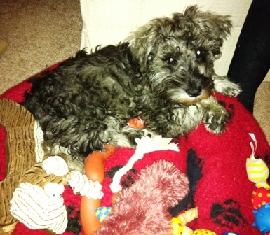 fifteen-week-old Miniature Schnauzer Herbie, in his bed surrounded by toys