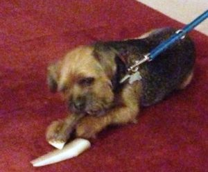 Border Terrier is worried and chewing helps