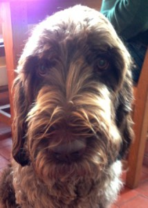 Spinone Cassie needs a few rules and boundaries