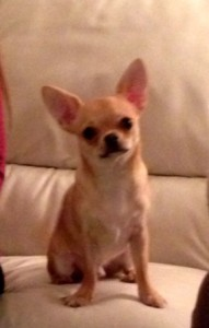 Chihuahua Twinkle is a clever little dog