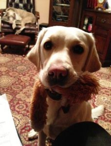 Labrador carrying a toy