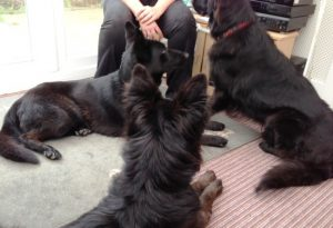 Three black German Shepherds