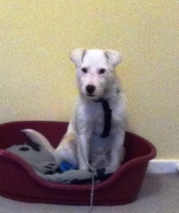 Parsons Terrier uncharacteristically calm sitting in his bed