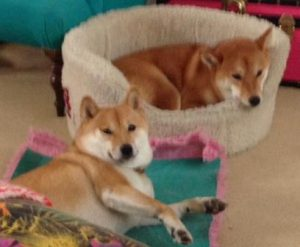 Shiba Inus' owners have put a lot of time into training them but there are a few things that make them reactive still