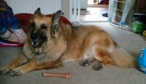Elderly German Shepherd is finding life hard with new younger dog