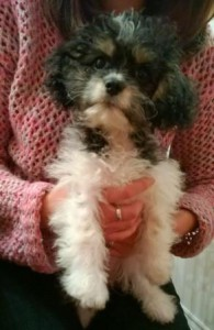 Havanese King Charles mix puppy