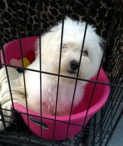 Bichon Frise in crate