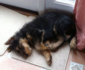 sleeping Airedale puppy